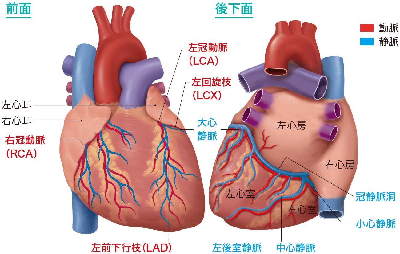 おもな心臓の血管