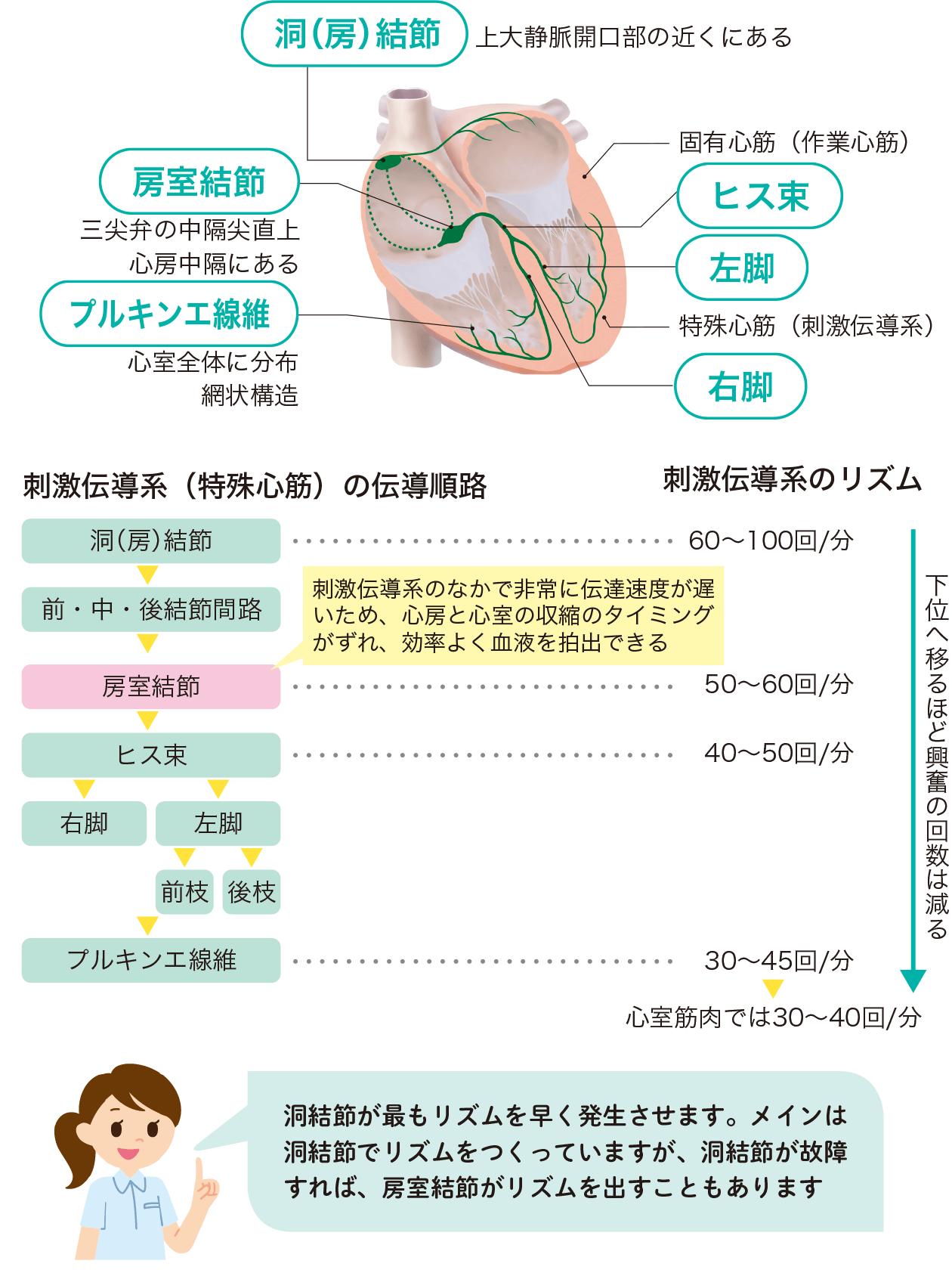 刺激伝導系(特殊心筋)のしくみ