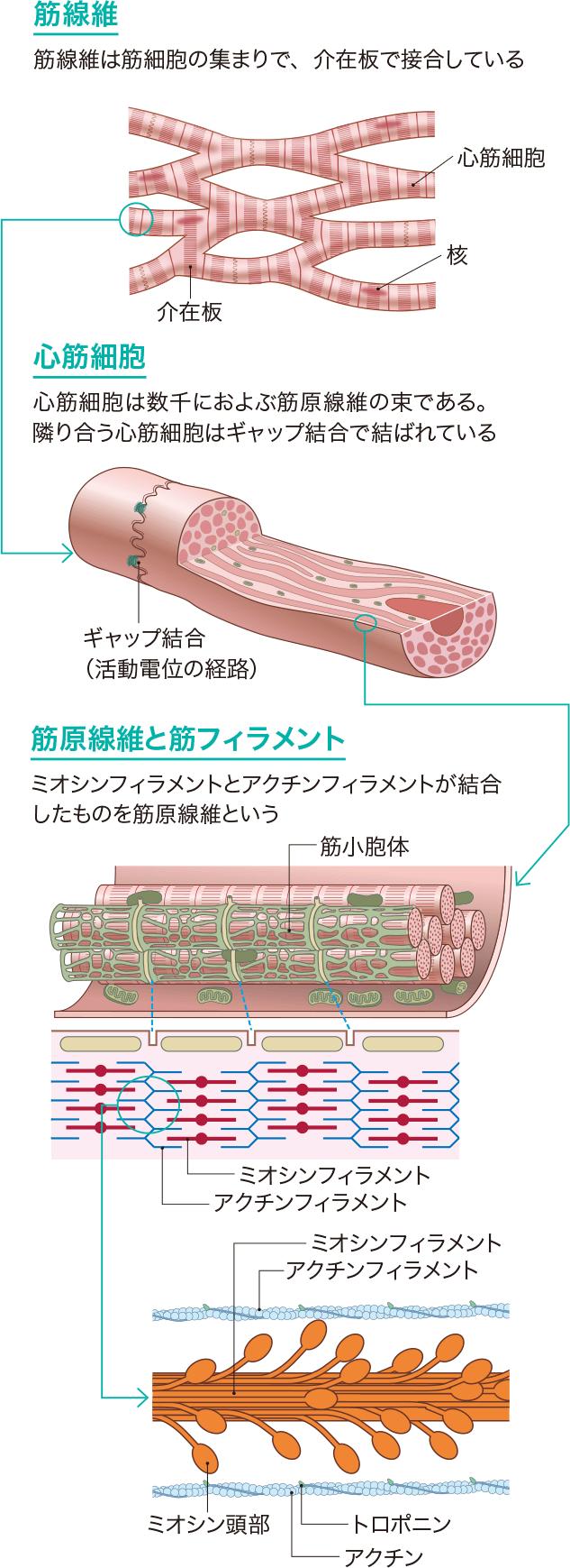 心筋の組織構造