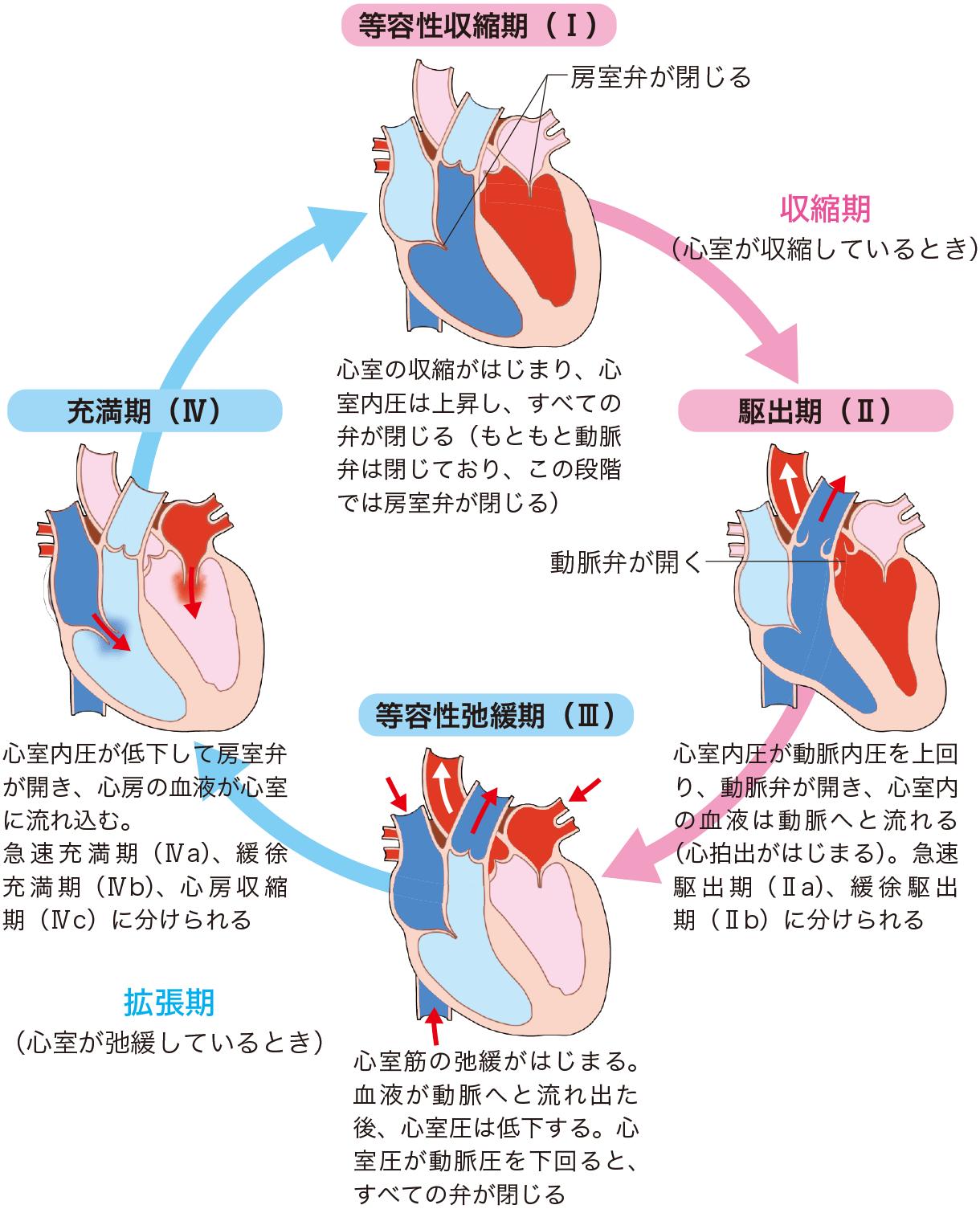 心周期の流れ