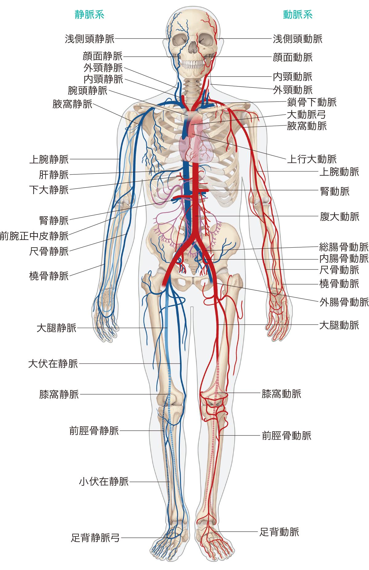 全身のおもな動脈と静脈