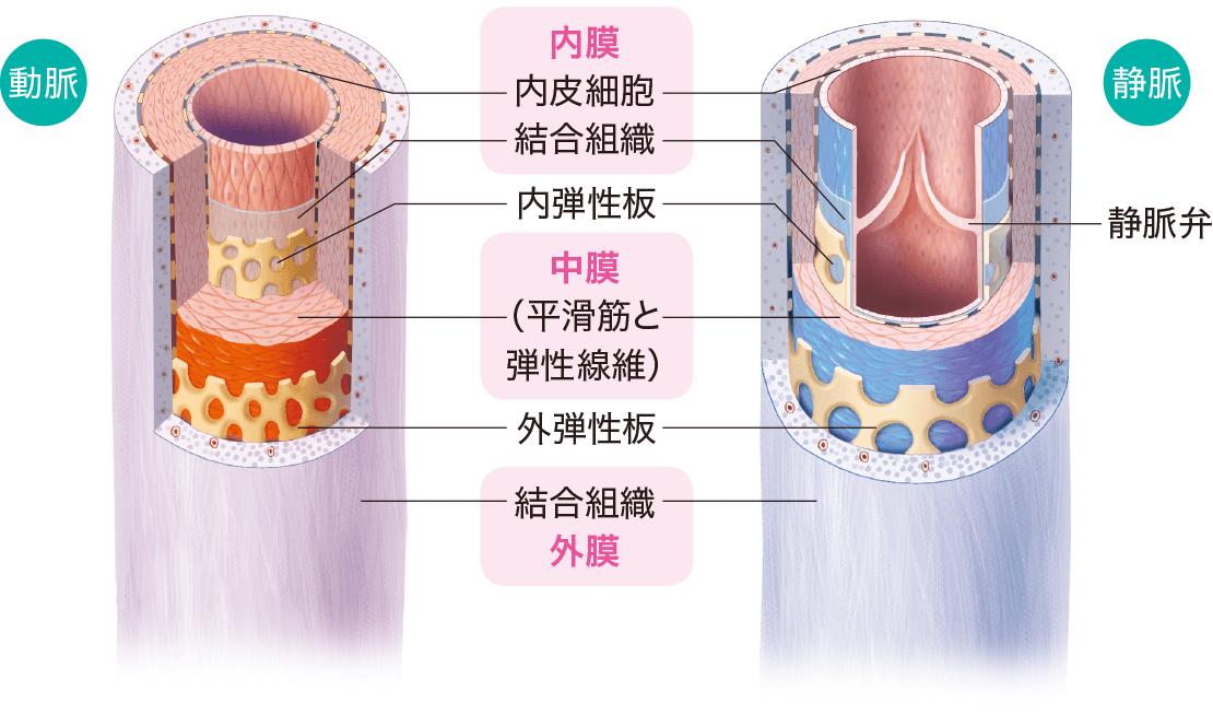 動脈と静脈の血管のしくみ