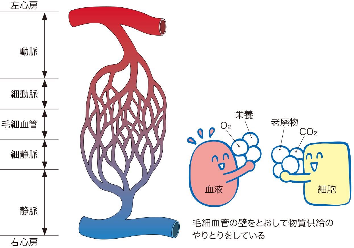 毛細血管のしくみ