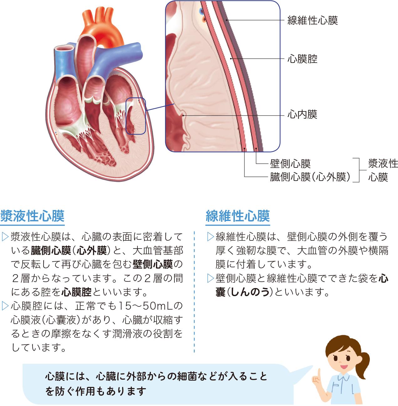 漿液性心膜と線維性心膜