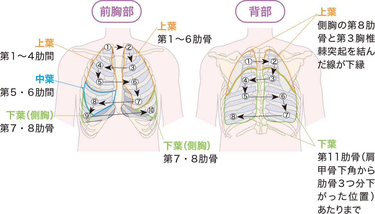 呼吸音の聴診部位