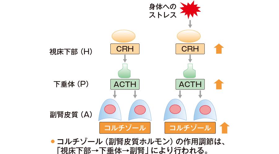 HPA軸によるコルチゾール分泌調節