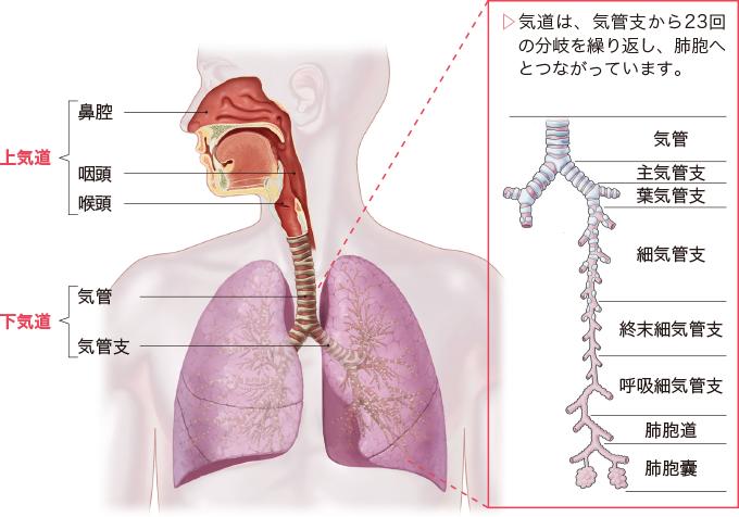 気道から肺胞までのイメージ