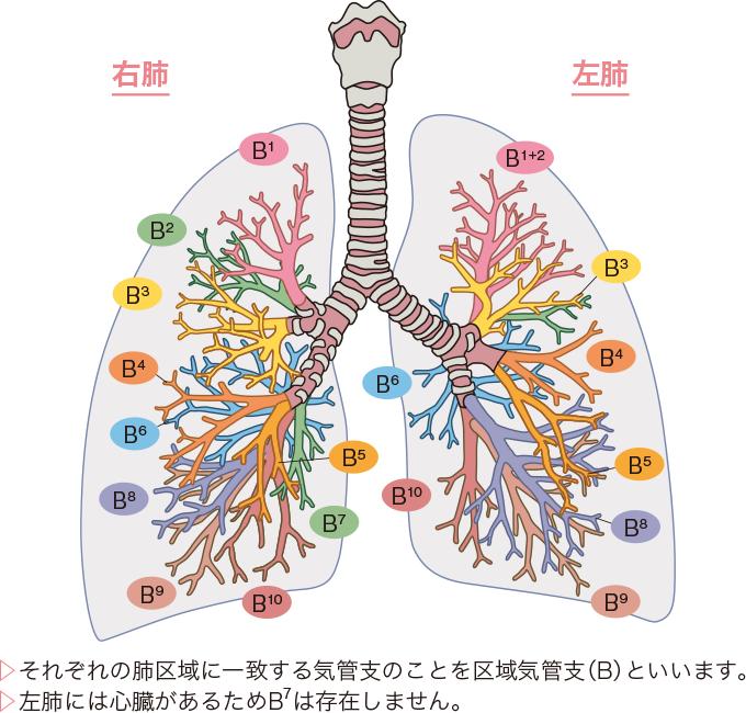 区域気管支(B)