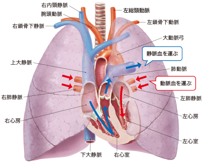 肺と血管走行のイメージ