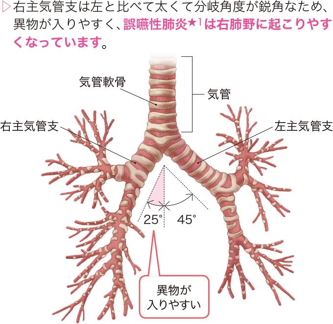 気管の分岐角度
