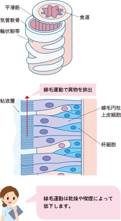 気管の構造