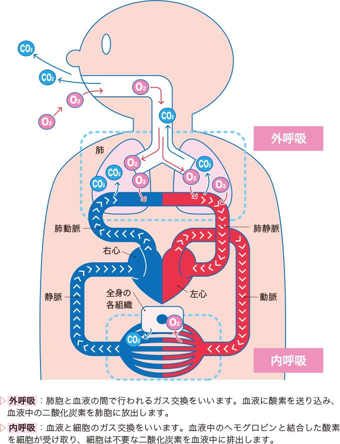 外呼吸と内呼吸のしくみ
