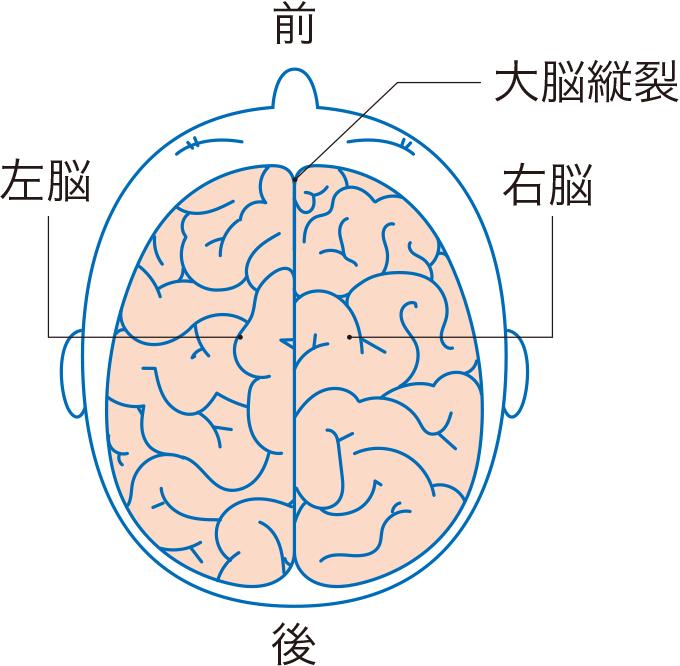 図1上から見た大脳