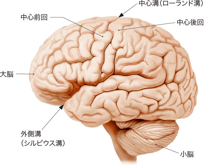 図2左側から見た脳