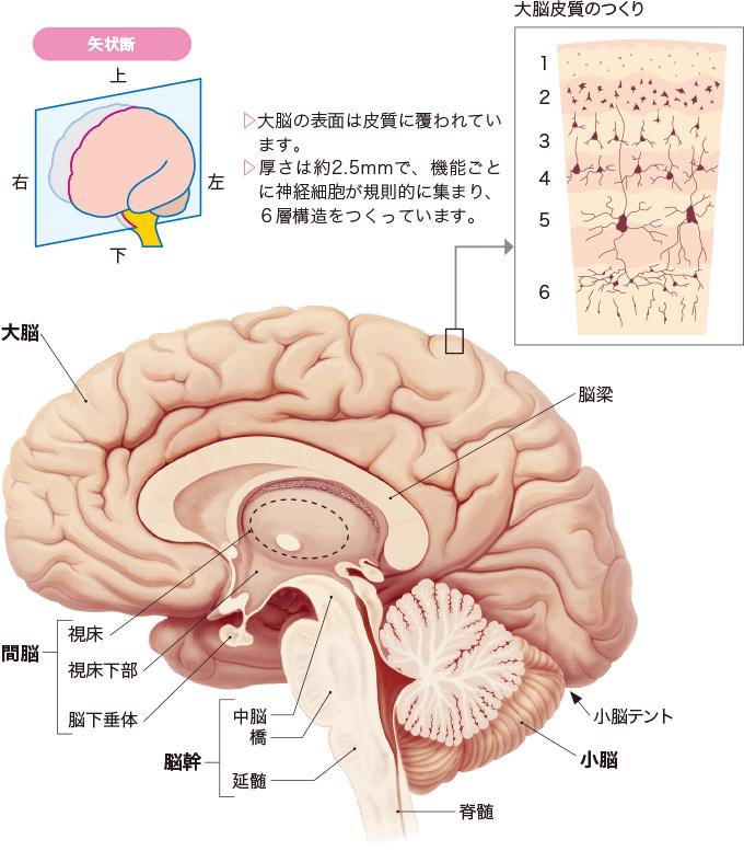 図3左側から見た脳(矢状断)