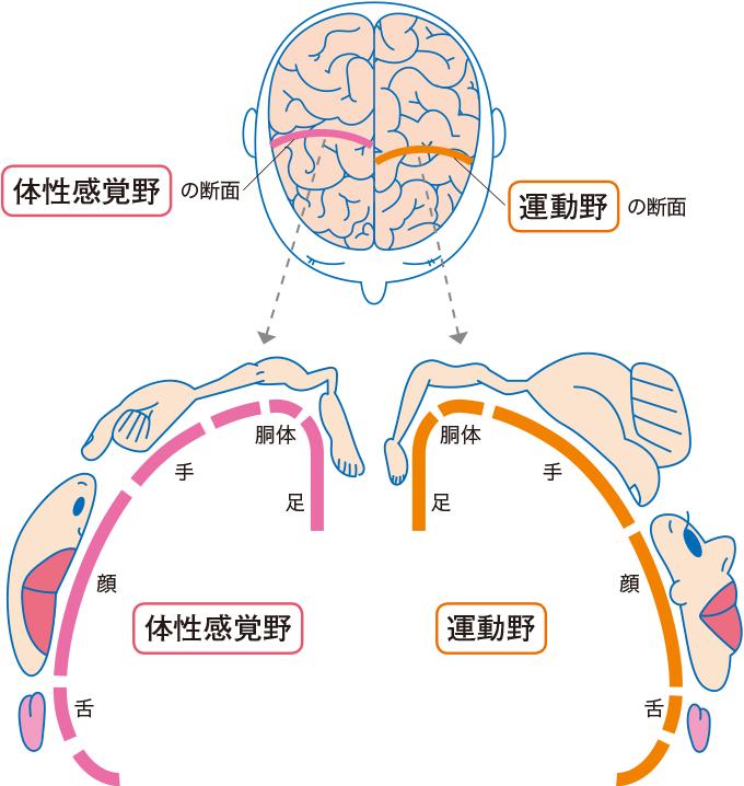 図3体性感覚野と運動野のマップ