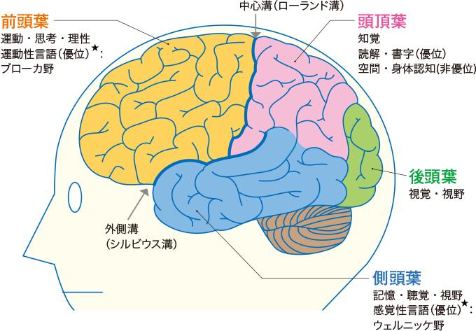 図1大脳皮質の4つの区分と役割分担