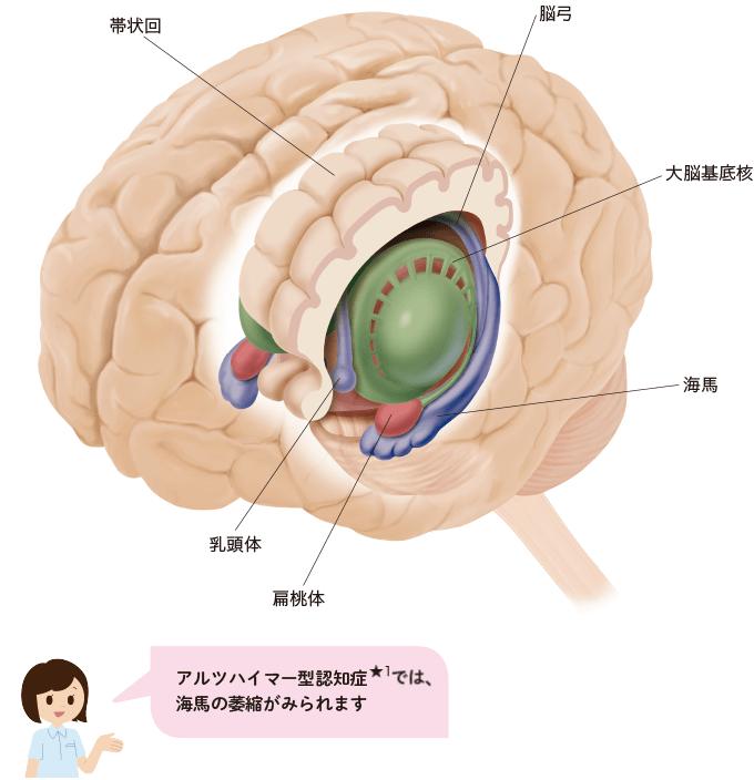 図13大脳辺縁系の構造