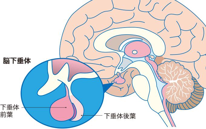 図2脳下垂体の構造