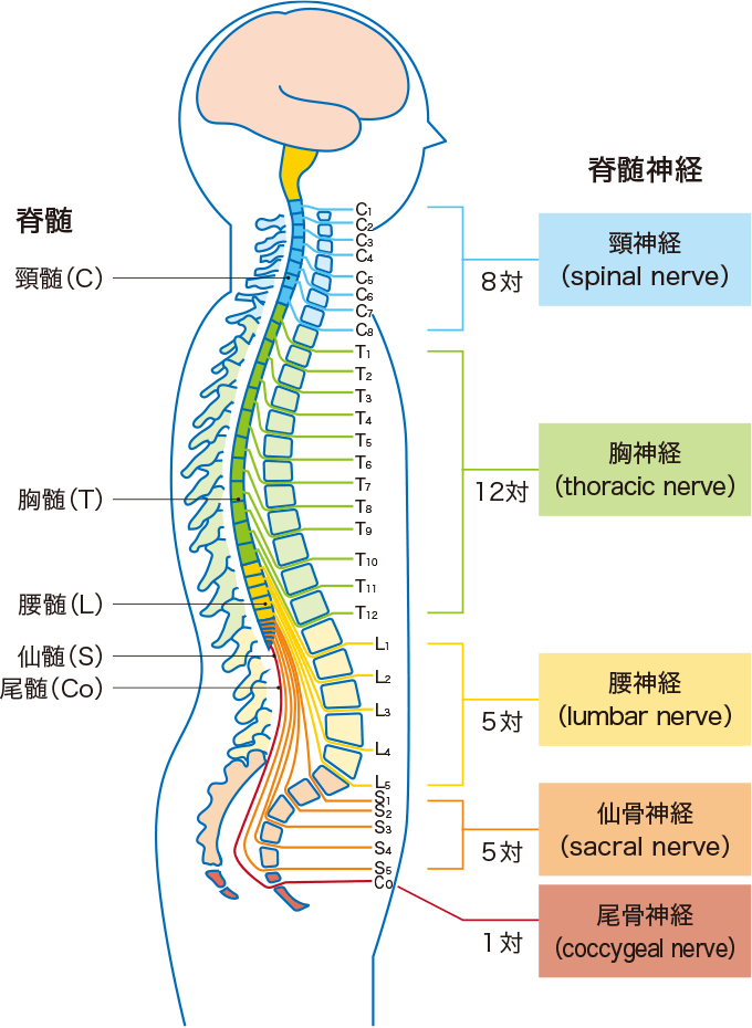 図1脊髄神経の全体像