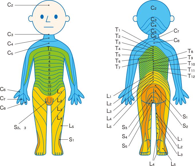 図2脊髄神経の皮膚支配域(デルマトーム)