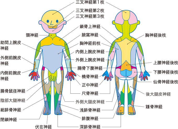 図3末梢神経の皮膚支配域