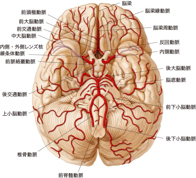 図2脳の動脈