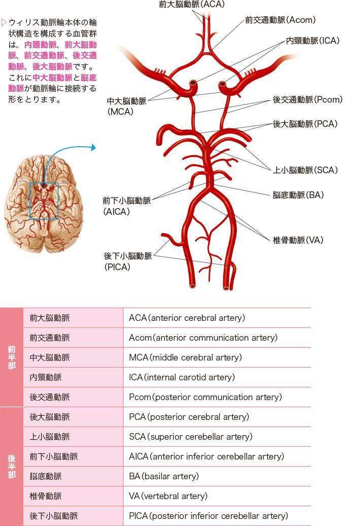 図3:ウィリス動脈輪を構成する血管