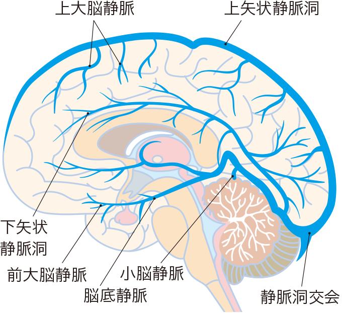 図5脳の静脈