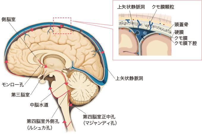 図6脳脊髄液の循環