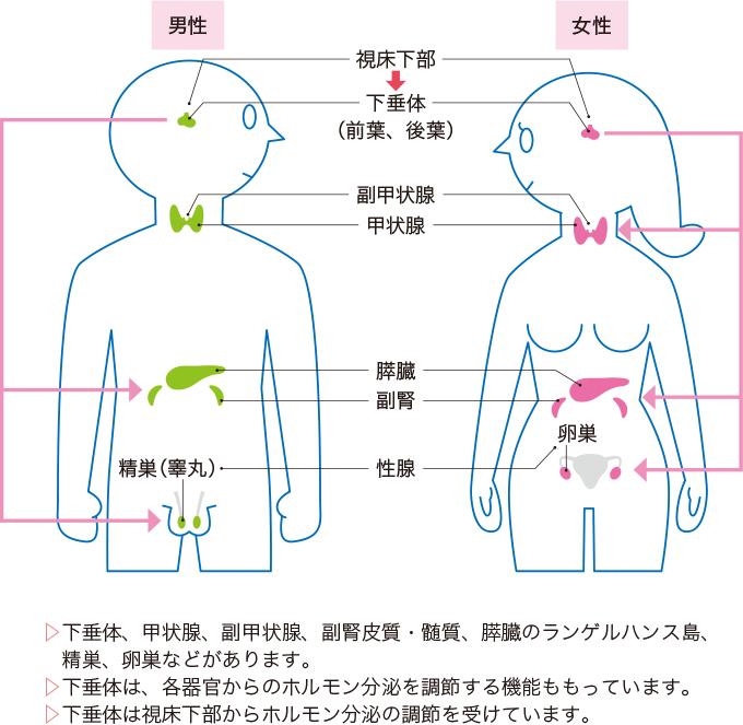 図5ホルモンを分泌する器官