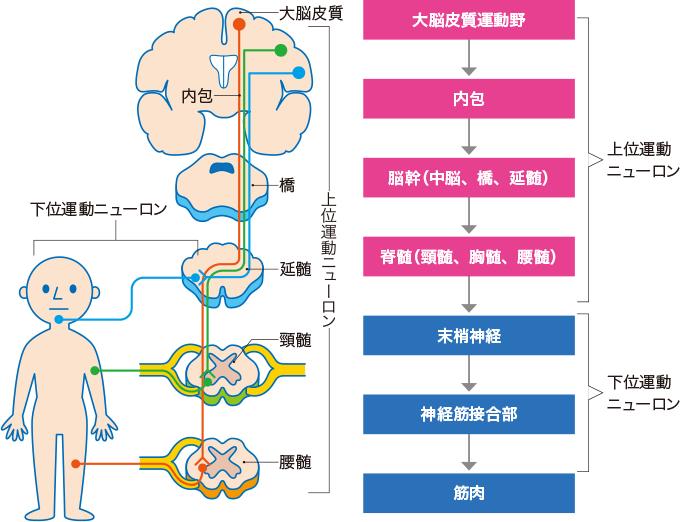 図13随意運動の伝達経路(錐体路)