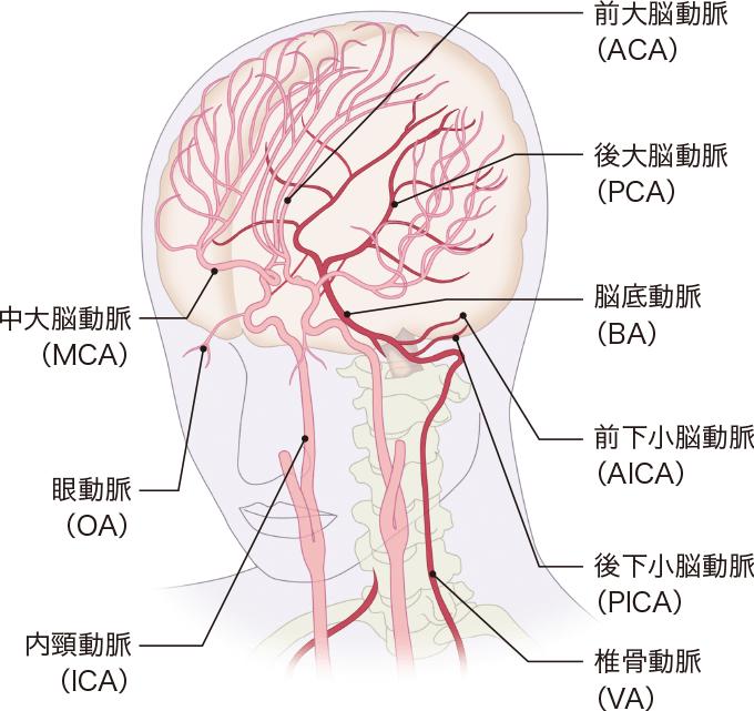 図13脳の動脈