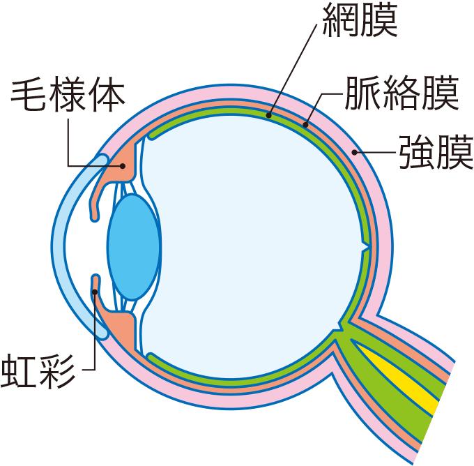 図2眼球の構造