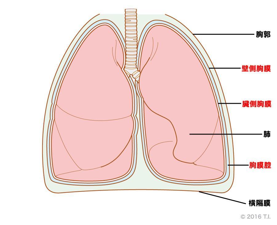 胸膜と胸膜腔の関係