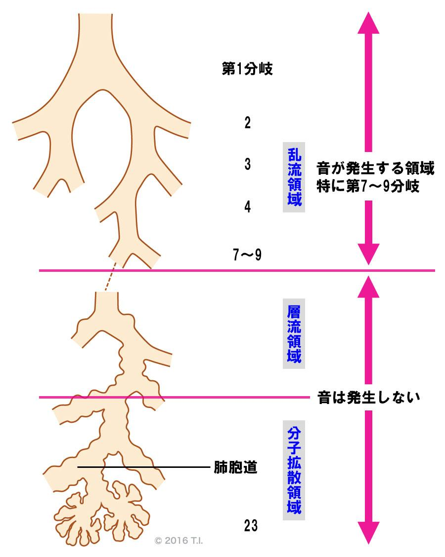 呼吸音が発生する場所と気管支の分岐の関係