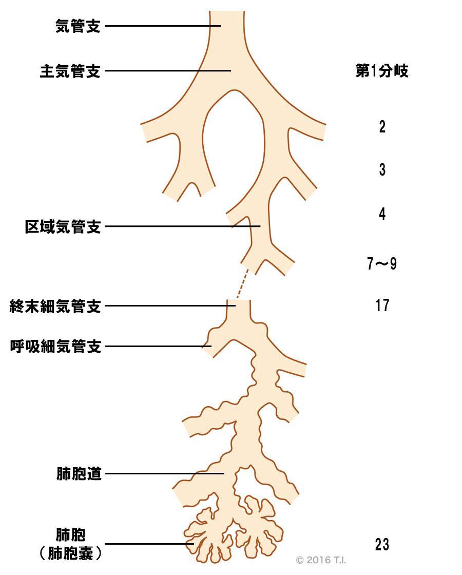 気管支の分岐構造