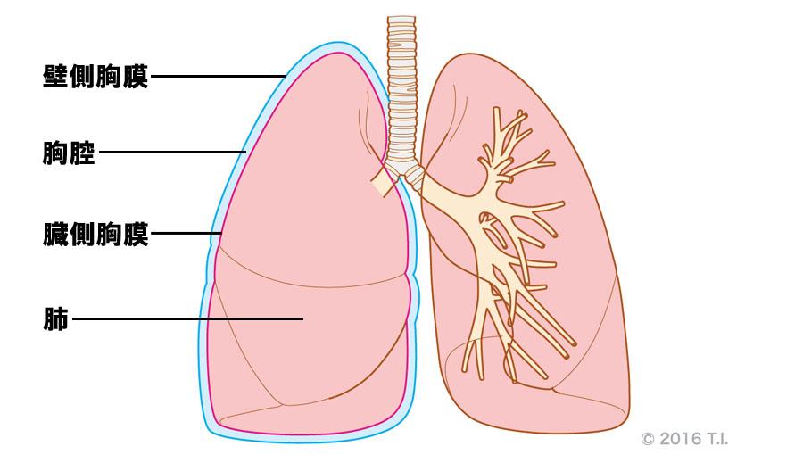 臓側胸膜と壁側胸膜の位置