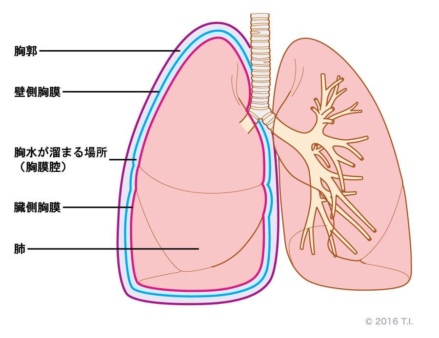 臓側胸膜と壁側胸膜の位置関係