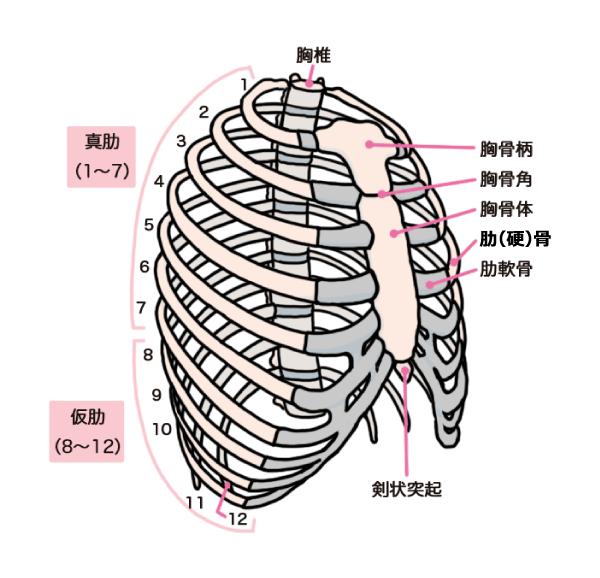 「肋骨」の画像検索結果